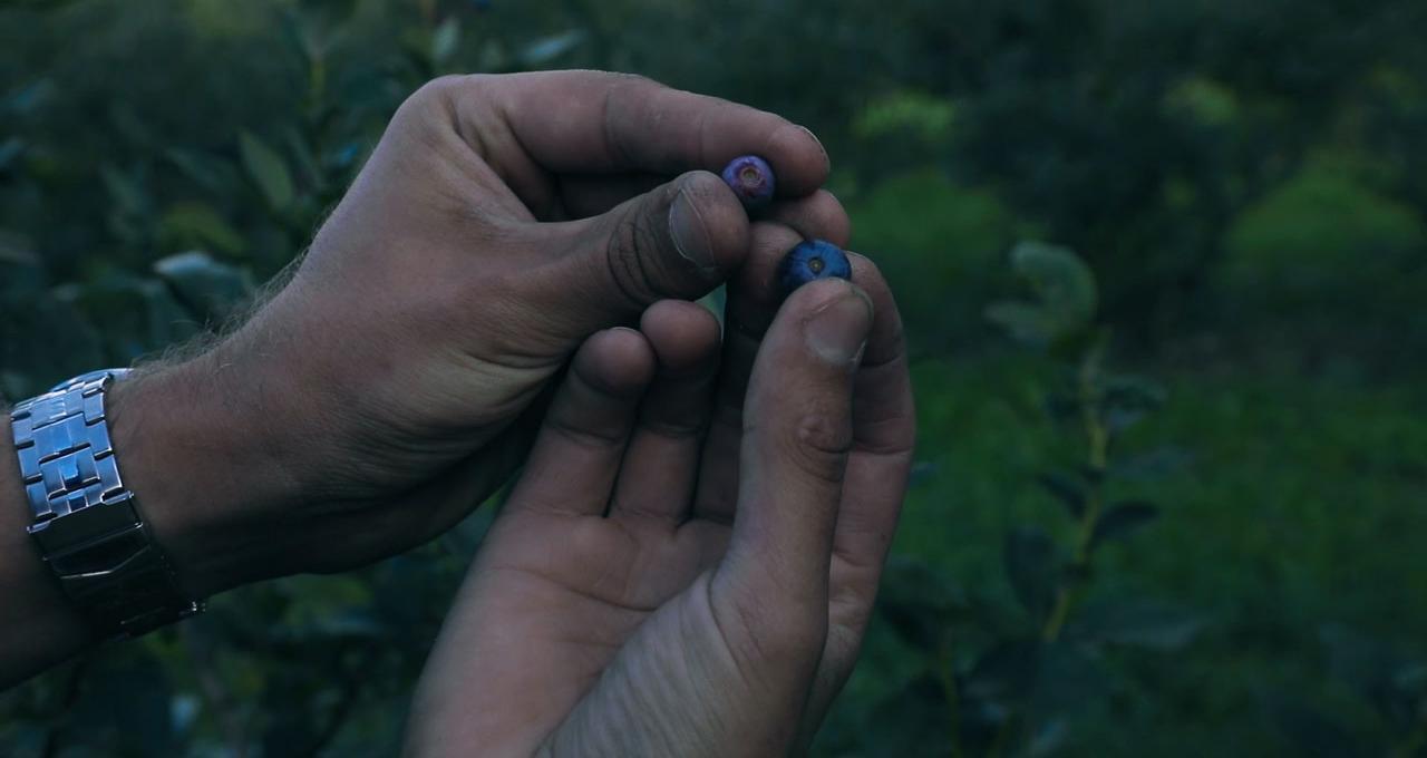 Självplock på blåbär