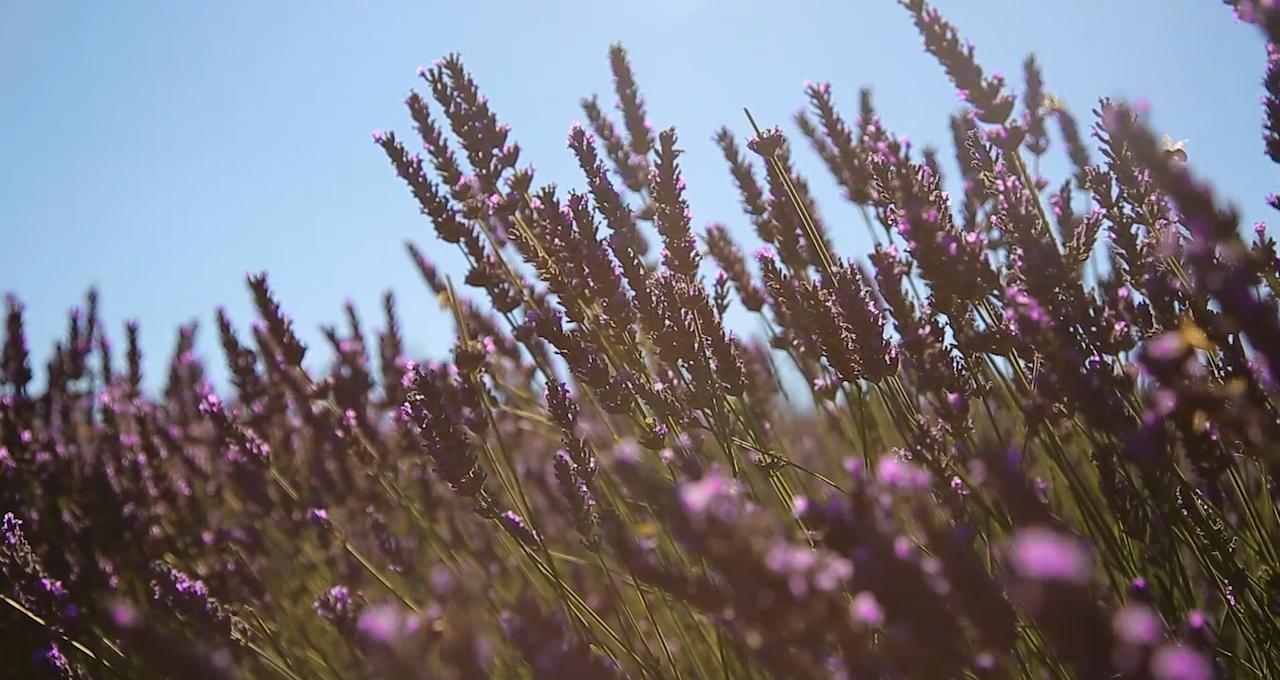 Lavendelproducenten Le Segnels
