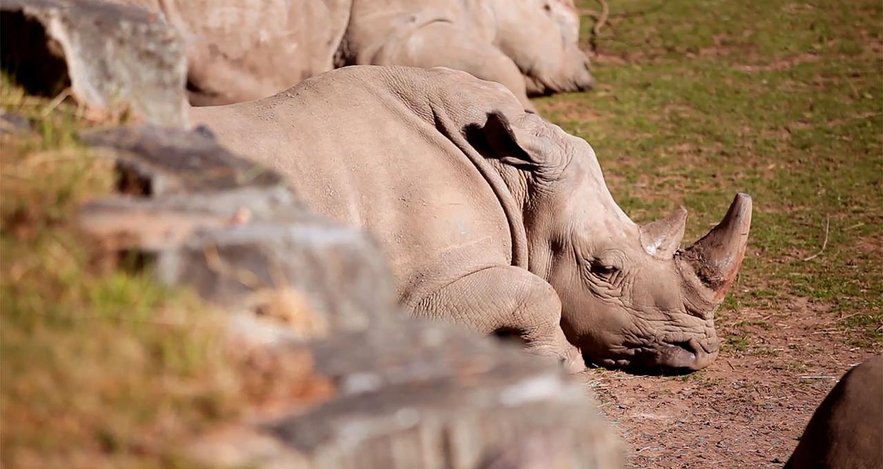 Kolmården noshörning