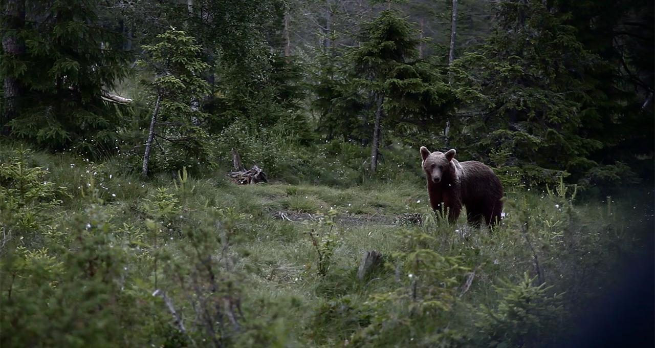 Björnssafari Järvsö