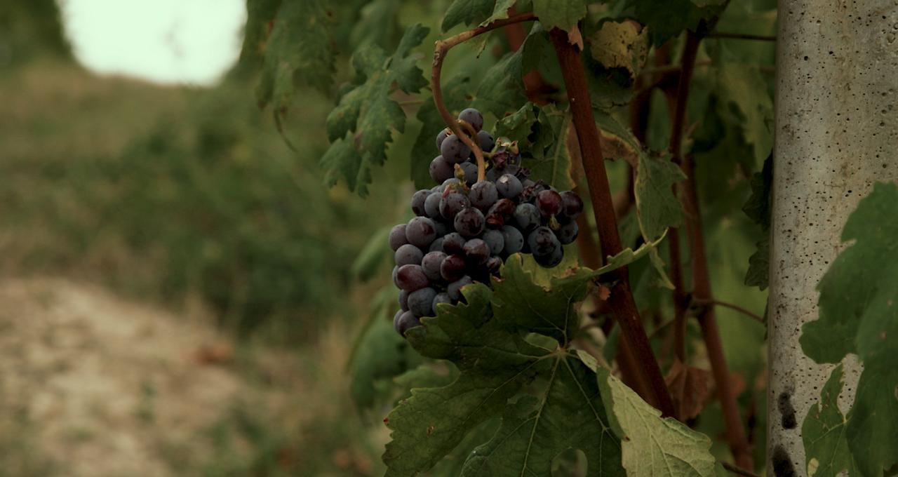 Barabesco grapes –druvor