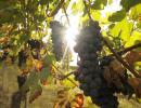 Vindruvsplantage i Barolo